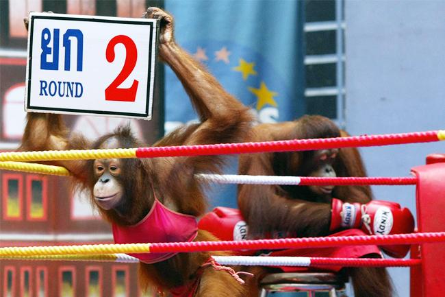 Thailand Orangutan Show