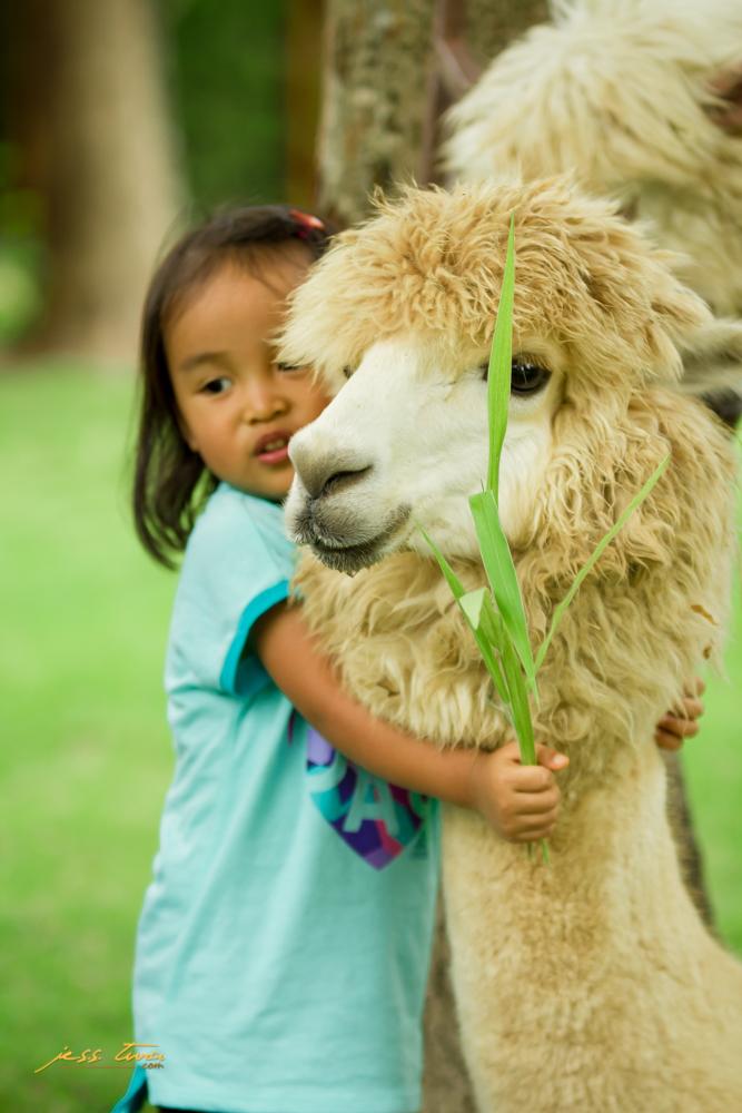 alpaca pinoy thaiyo